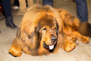 Well Groomed Tibetan Mastiff