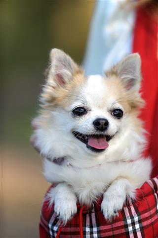 Cute Chihuahua Dog Inside Bag