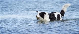 Swimming Border Collie Dog