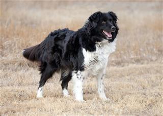 Border Collie Cross Shepherd Dog In Field