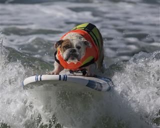 Bulldog Surfing