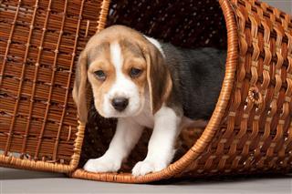 Beagle Puppy In Basket