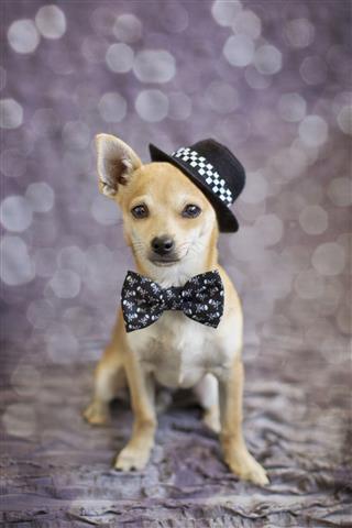 Fancy Chihuahua