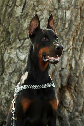 Dog Breed Doberman Closeup