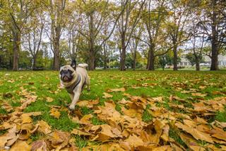 Pug Running Through Autumn Leaves