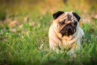 Dog Pet Pug