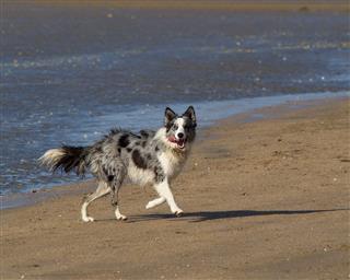 Wet Collie Dog On Beach