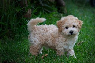 Fluffy Cross Bred Puppy On Grass