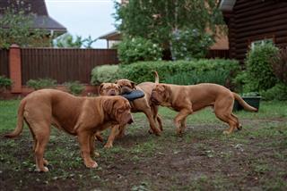 French Mastiff Runs On Grass
