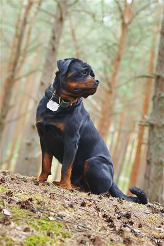 Rottweiler Dog Sitting Outdoors