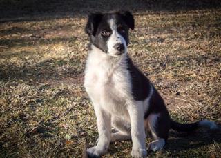 Border Collie Puppy Sitting On Grass