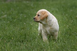 Cute Yellow Puppy Labrador Retriever