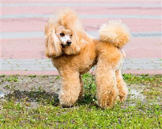 Poodle Looks