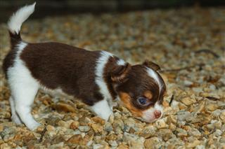 Chihuahua Puppy Dog Pet Cute