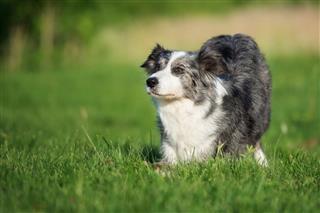 Border Collie Dog Bows Down