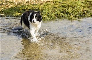 Border Collie Dog Splashes In Water