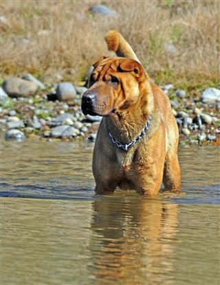Shar Pei Dog In Water