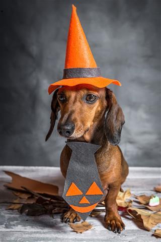 Dachshund Dog Dressed For Halloween