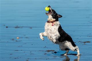 Dog Catching Ball On Beach