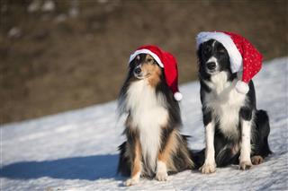 Dogs Border Collie Shetland Sheepdog
