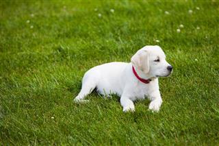 Labrador Retriever Puppy Outdoors