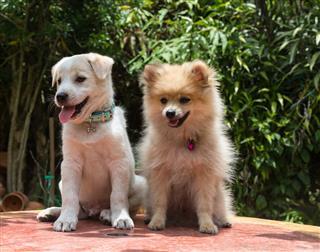Dog Breed German Funny Spitz