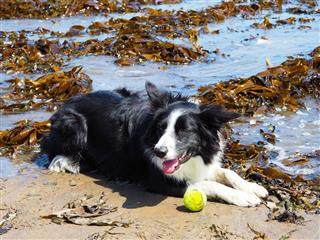 Border Collie Sheepdog On A Beach