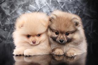 Two Little Pomeranian Spitz Puppies
