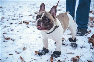 French Bulldog Dog Playing