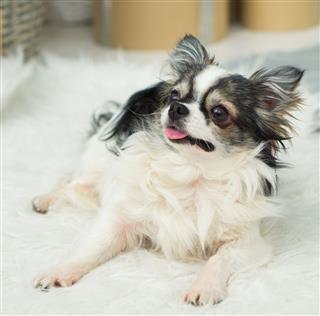 Longhair Chihuahua Dog
