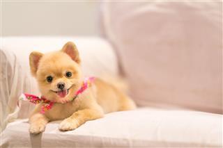 Cute Pomeranian Dog Smiling