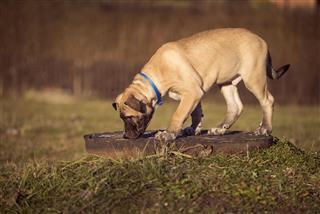 Puppy Sniffs The Grass On A Walk