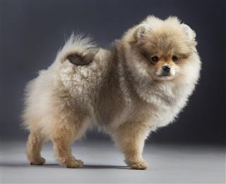 Pomerania Puppy Portrait