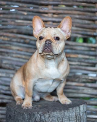 French Bulldog Canis Lupus Familiaris