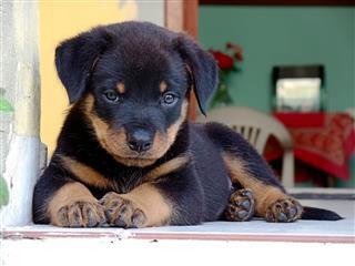 Beautiful Rottweiler Puppy Relaxing
