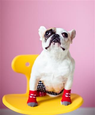 French Bulldog Puppy Sitting On Stool