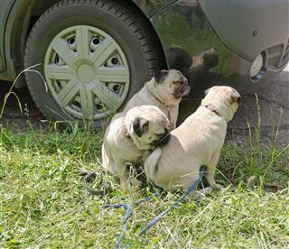 Dogs Near Wheel Of Car