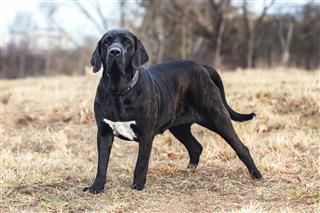Portrait Of Dog Mastiff