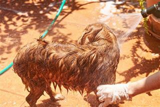Washing Brown Spaniel Dog