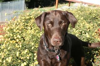 Labrador Retriever With Yellow Flowers