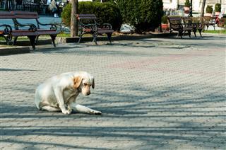 Abandoned Golden Labrador Retriever