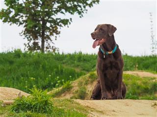 Labrador Retriever Dog Sitting In Grass