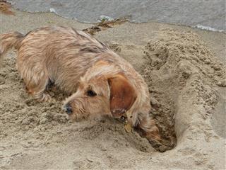 Dog On A Beach Wire Haired Dachshund