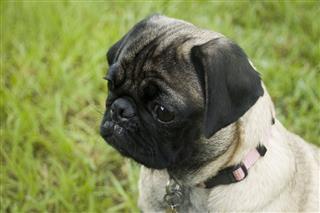 Girl Pug Puppy