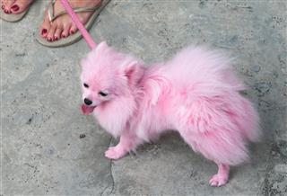 Pink Pomeranian Pet