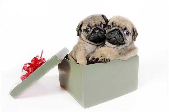 Puppies Present