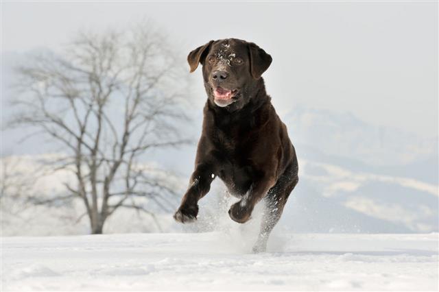 Labrador Retriever Playing In The Snow