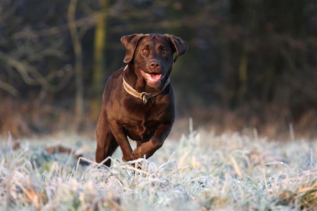 Speedy Labrador