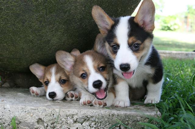 Corgie Pups