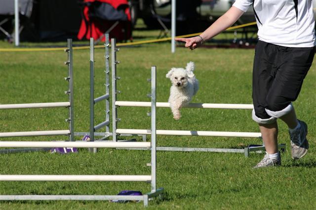Dog Agility Poodle